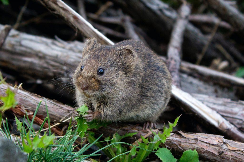 鼠(ねずみ)