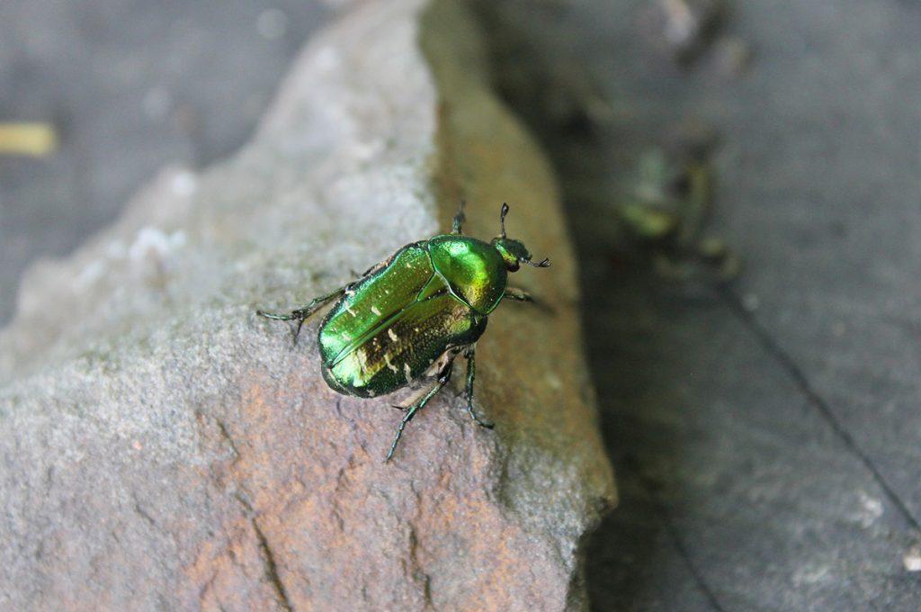 黄金虫(コガネムシ)