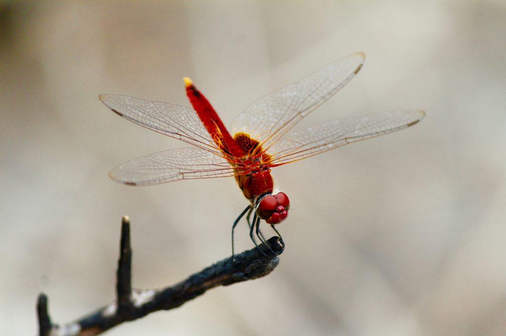 蜻蛉(トンボ)