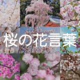 種類別でわかる桜(サクラ)の花言葉の意味一覧