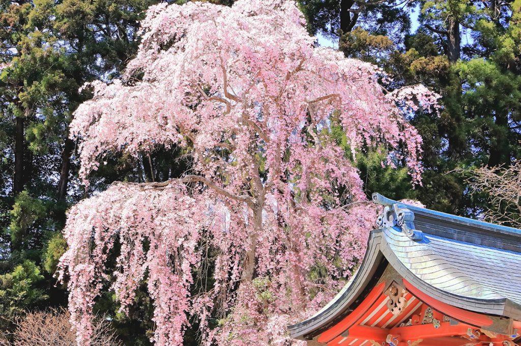 シダレザクラ(枝垂れ桜)