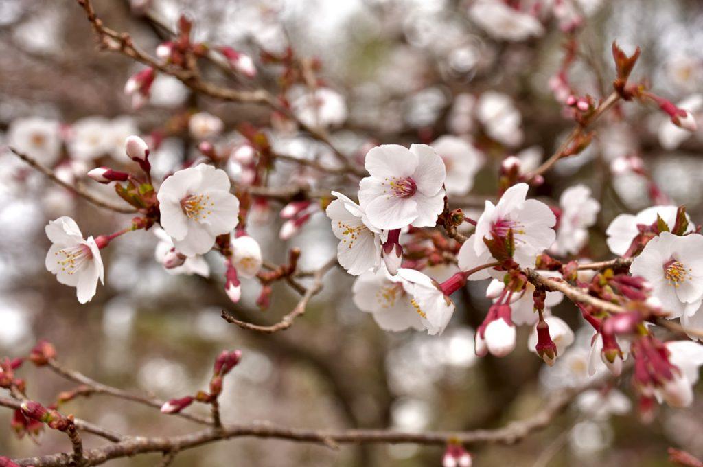 マメザクラ(豆桜)