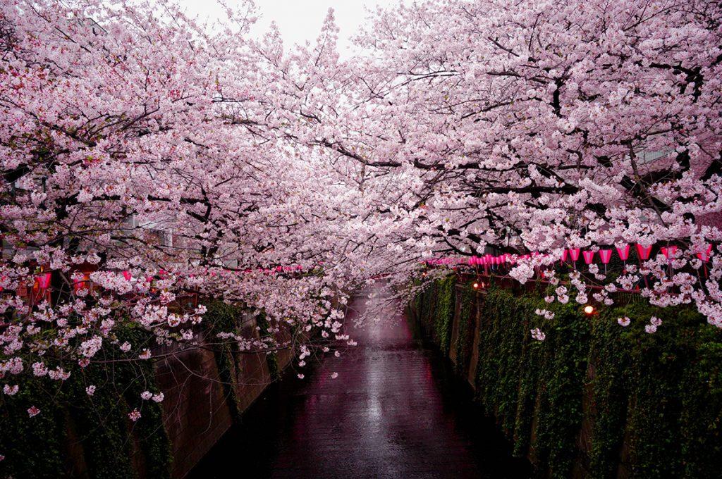桜の種類は600種以上
