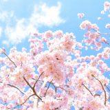 【ひとつじゃない桜の由来・語源】お花見の歴史や漢字の成り立ちについても紹介