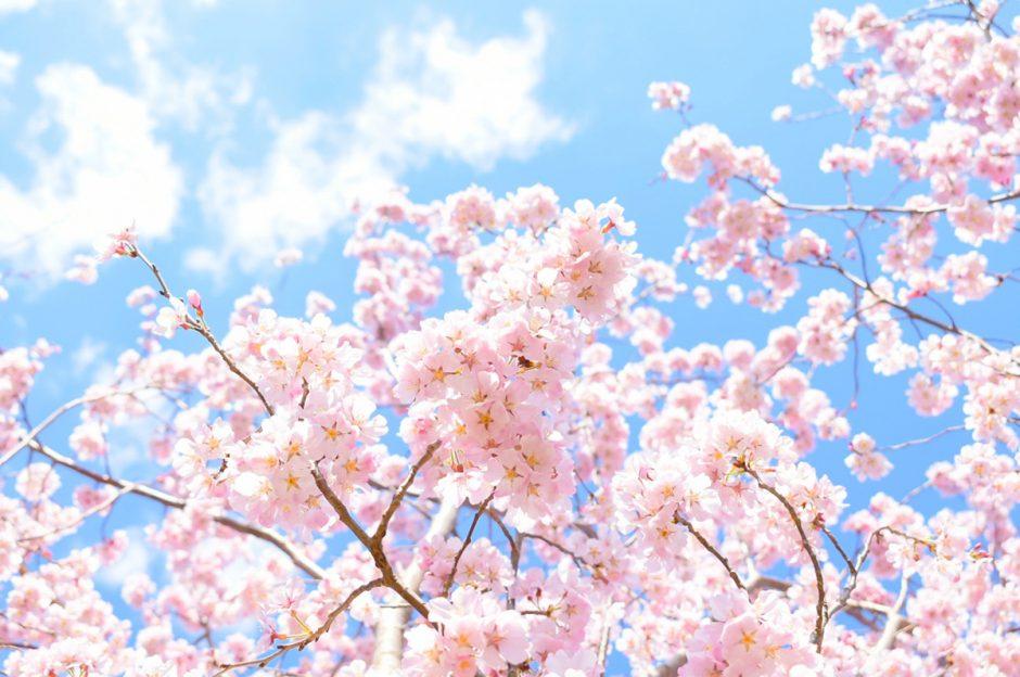 桜(さくら)の由来・語源。実はひとつだけじゃなかった!?