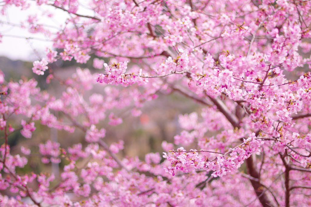 「桜(さくら)」という名前の由来・語源